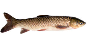 Grass carp or white amur Stock Photos