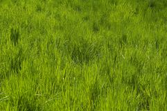 Grass carpet background Stock Photo