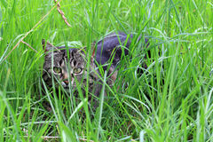 In the grass. A cat hiding in the grass Royalty Free Stock Images