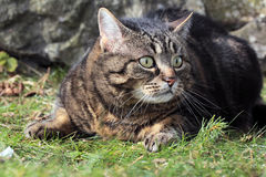 In the grass. A cat hiding in the grass Royalty Free Stock Image