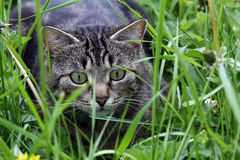 In the grass catching mice Stock Image