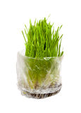 Grass for cats Stock Photo