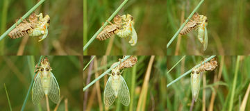 Grass cicada emergence Stock Photo