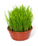 Grass in a clay pot isolated on white Royalty Free Stock Photo