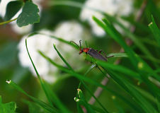 Grass and Click Beetle Stock Photography