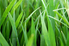 Grass close up Royalty Free Stock Image