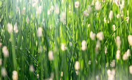 Grass close-up in a counter-light as background Stock Photography