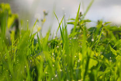 Grass. Close-up grass on a field Royalty Free Stock Photography