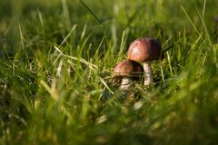 Grass, Close Up, Fungus, Mushroom Stock Photo