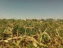 Grass field summer. Grass field abundant summer clear sky Royalty Free Stock Photo
