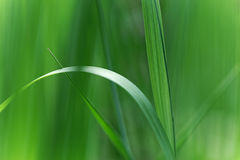 Grass. Close up of green leaves of grass Royalty Free Stock Photo