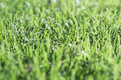 Grass Close up 2. Close up of green summer grass blades using a shallow depth of field Royalty Free Stock Image