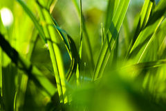 Grass. Close up Royalty Free Stock Photos