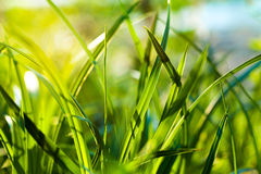 Grass. Close up Royalty Free Stock Images