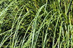 Grass close-up Stock Photography