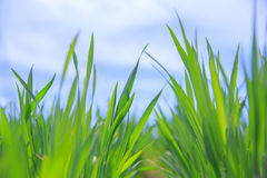 Grass close-up. Royalty Free Stock Images