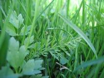 Grass closeup. Closeup of a green grass, blurrish background Royalty Free Stock Photos