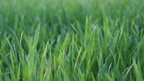 Grass closeup Stock Photography