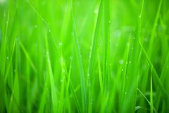 Grass closeup Royalty Free Stock Images