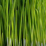 Grass Closeup. Closeup of Green Grass Stems Stock Photos