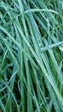 Grass closeup Royalty Free Stock Photo