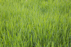 Grass. closeup. Green lush grass in a sunny summer day. close up. flora Royalty Free Stock Image