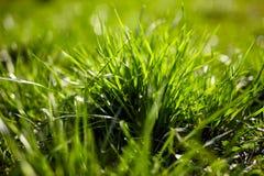 Grass closeup Royalty Free Stock Image