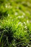 Grass closeup Royalty Free Stock Photography