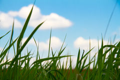 Grass and cloudy sky. Grass and cloudy blue sky Royalty Free Stock Photography