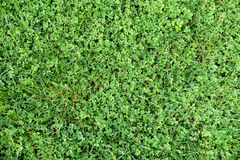 Grass with clover texture Royalty Free Stock Images