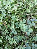 Grass and clovers. Closeup of clovers in the grass Royalty Free Stock Photography