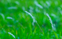 Grass Cottons in Morning Breeze Stock Photos