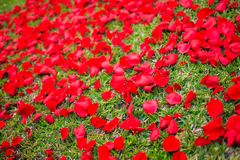 Grass cover with roses petals Royalty Free Stock Image