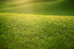 Grass covered with dew. Young grass covered with dew in the morning light royalty free stock photography