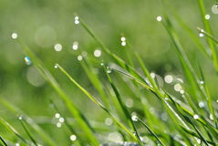 Grass covered with dew Royalty Free Stock Images