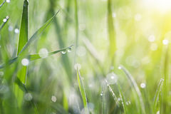 Grass covered with dew Stock Photography