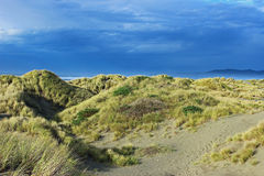 Grass-covered dunes. European beach grass (Ammophila arenaria) covering a dune on a cloudy day Stock Image