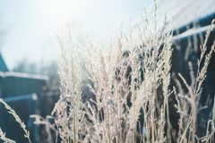 Grass covered with frost against the background of the winter morning sun stock image