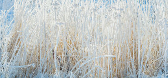Grass covered with frost and snow. Texture Royalty Free Stock Photo