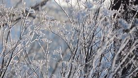 Grass covered with frost, wind shaken. Winter morning. Grass covered with frost, wind shaken. Christmas tree with frost. Scenic winter landscape background stock video footage