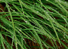 Grass   covered with heavy dew. Stock Image