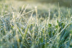 Grass covered with hoarfrost Royalty Free Stock Photo