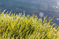Grass covered in morning dew Royalty Free Stock Image