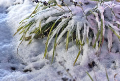Grass covered with snow Royalty Free Stock Photo