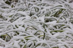 Grass covered with snow Royalty Free Stock Images