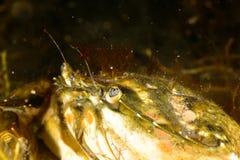 Grass Crab Royalty Free Stock Photo