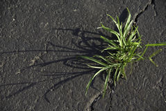 Grass in a Crack royalty free stock image