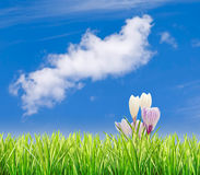 Grass with crocuses and blue sky Royalty Free Stock Photo