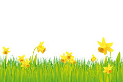 Grass and daffodils background Stock Images