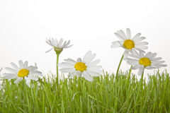 Grass with Daisies Stock Photography
